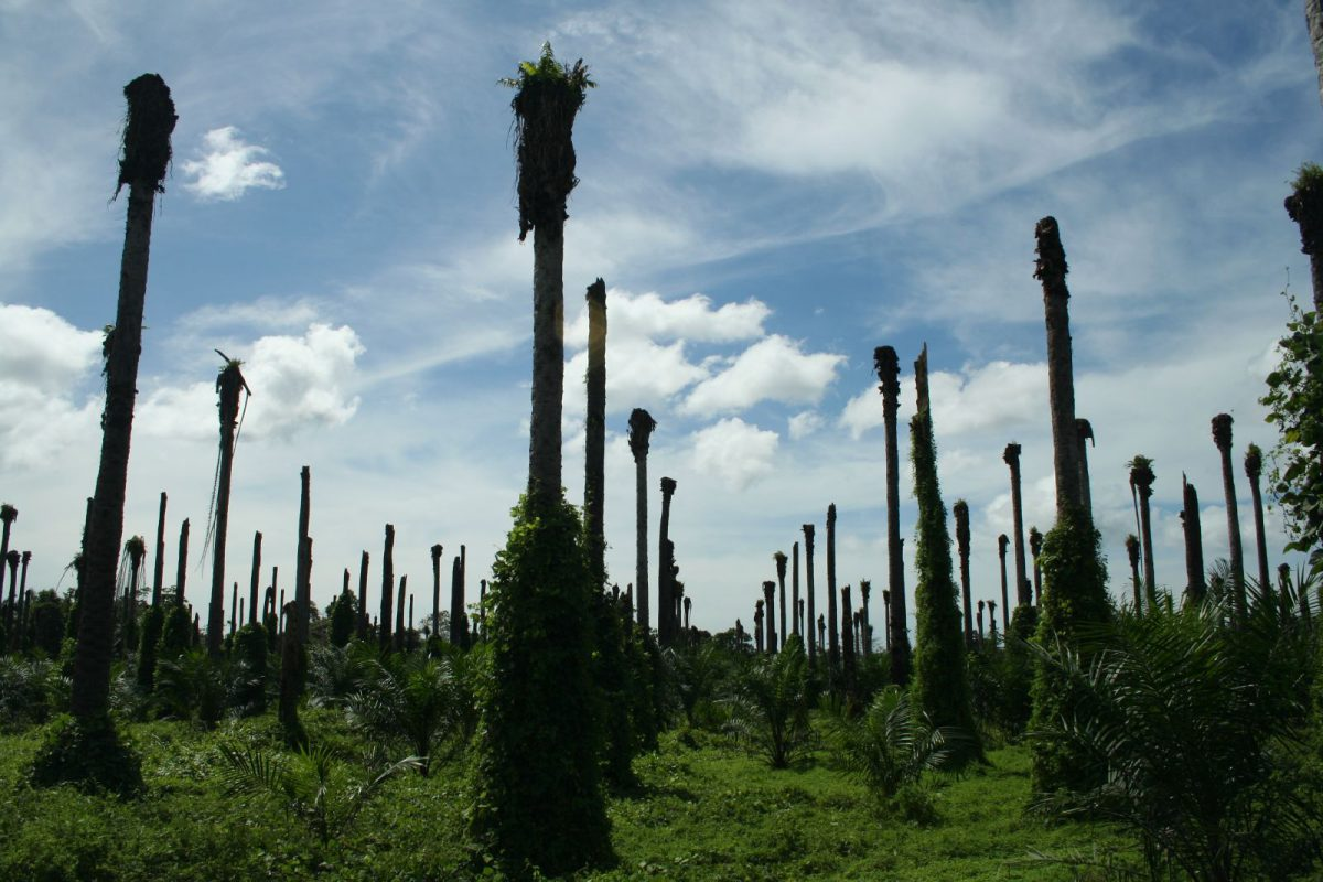 Oil palm graveyard - these palms were injected with pesticides (paraquat, according to locals) so to kill them and allow preparations for the next planting. |  Bild: © Wakx [CC BY-NC-SA 2.0]  - Flickr